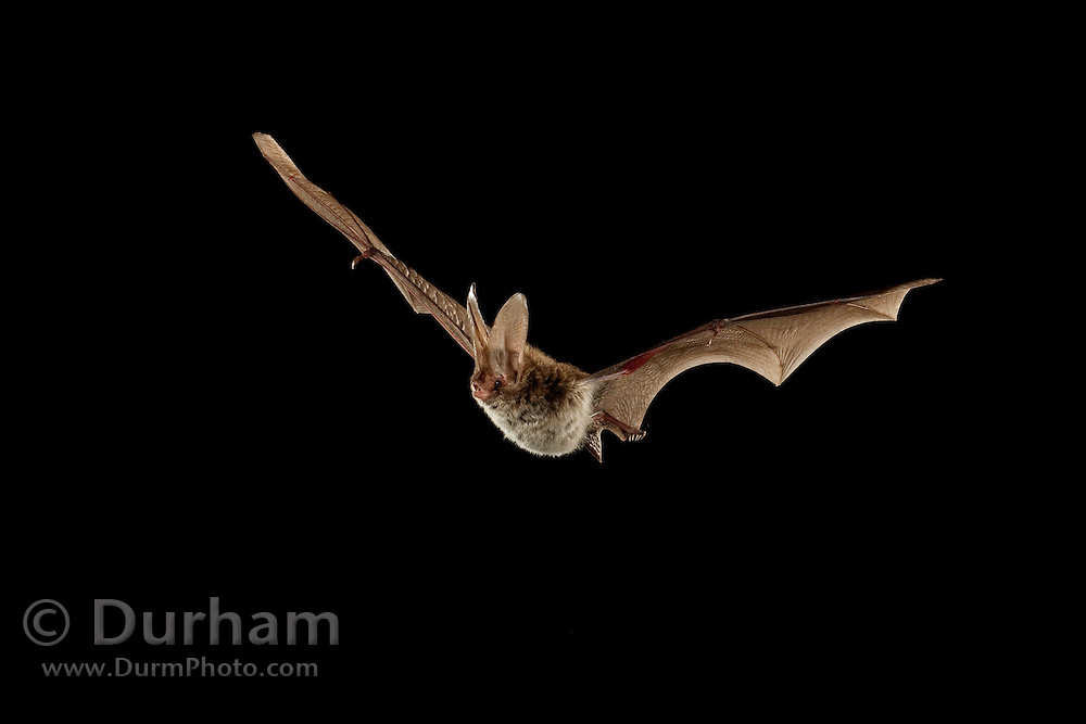 A Rafinesque's Big-eared Bat (Corynorhinus rafinesquii) flying at night. Big Thicket National Preserve, Texas.