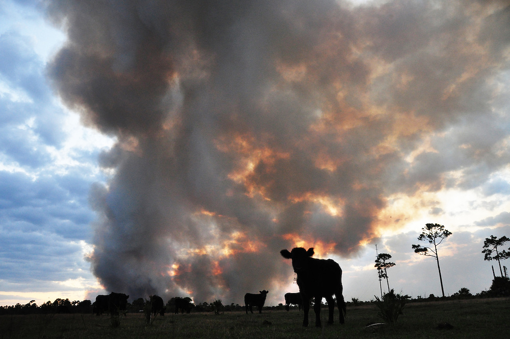 Andrew Knapp, FLORIDA TODAY -- Feb. 28, 2011 -- Smoke rises from a massive wildfire as cows graze in a pasture off U.S. 1 just south of Stuckway Road in Mims on Monday afternoon.