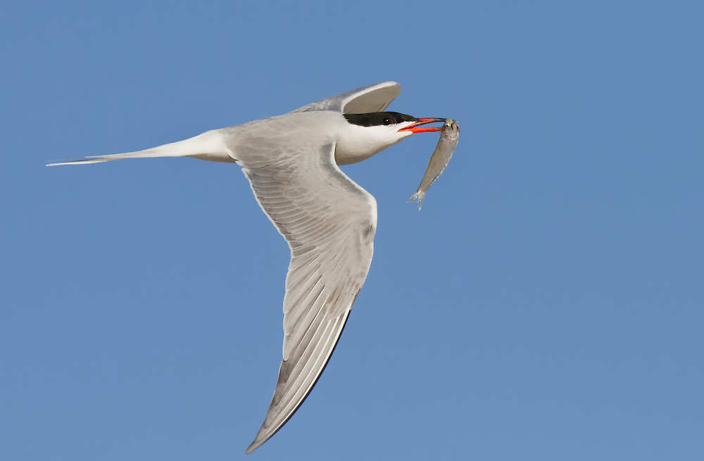 Common Tern, Nickerson Beach, New York