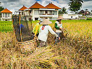 20 JULY 2016 - TAMPAKSIRING, GIANYAR, BALI:  Women move their rice thrasher to a new place in a rice paddy. New homes built as rental properties for foreign tourists and retirees are in the background. Many rice fields around Ubud are being sold to real estate developers who are building expensive homes in the paddies. Rice is an important part of the Balinese culture. The rituals of the cycle of planting, maintaining, irrigating, and harvesting rice enrich the cultural life of Bali beyond a single staple can ever hope to do. Despite the importance of rice, Bali does not produce enough rice for its own needs and imports rice from nearby countries. Because of its dependable growing weather and number of micro-climates, rice cultivation is a year round activity in Bali. Some farmers can be harvesting rice, while farmers just a few kilometers away can be planting rice. Most rice in Bali is still harvested by hand.     PHOTO BY JACK KURTZ