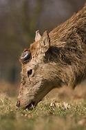 Red Deer (Cervus elaphus) adult male, grazing after shedding antlers, England