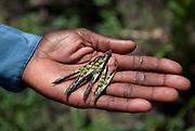 Seed farmer, Masalu Yakobu, holds out some green gram near Mwamboku Village, Tanzania. Green gram has proven to be a profitable crop for small Tanzanian farmers.
