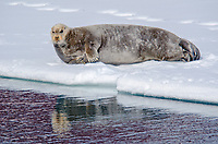 Bearded Seal, Erignathus barbatus reflecting in an open lead of sea ice in Woodfjorden on Spitsbergen in the Svalbard archipelago, Norway.