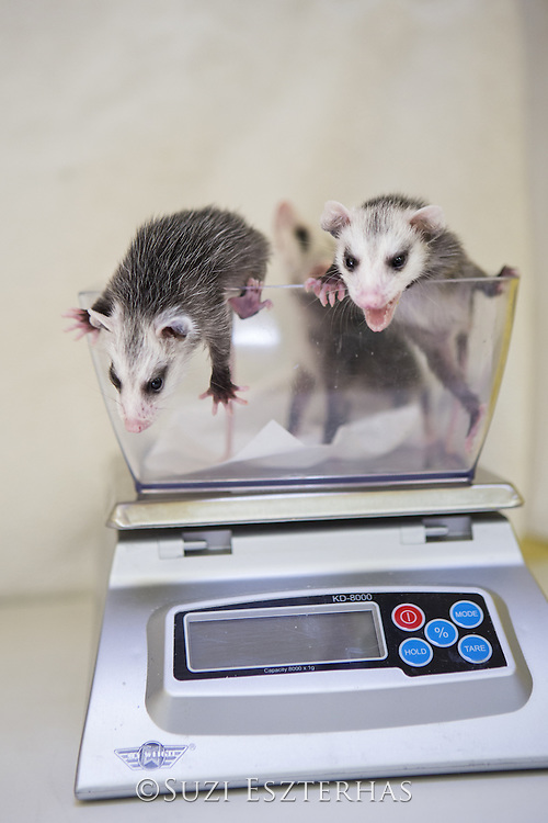 Virginia Opossum <br /> Didelphis virginiana<br /> Twelve-week-old orphaned babies on scale (mother was hit by car)<br /> WildCare, San Rafael, California