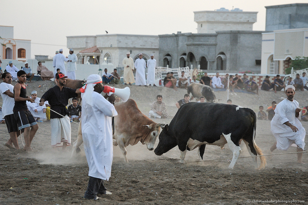 Bull fight in Barka, Oman 2011