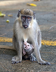 A troop of wild African vervet monkeys live happily at a Florida airport - 29 Nov 2018