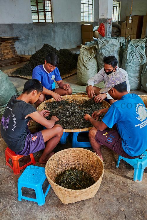 Chine, Province du Yunnan, region de Xishuangbanna, trillage et séchage du thé de Pu'er // China, Yunnan, Xishuangbanna district, classify and drying tea of Pu'er tea