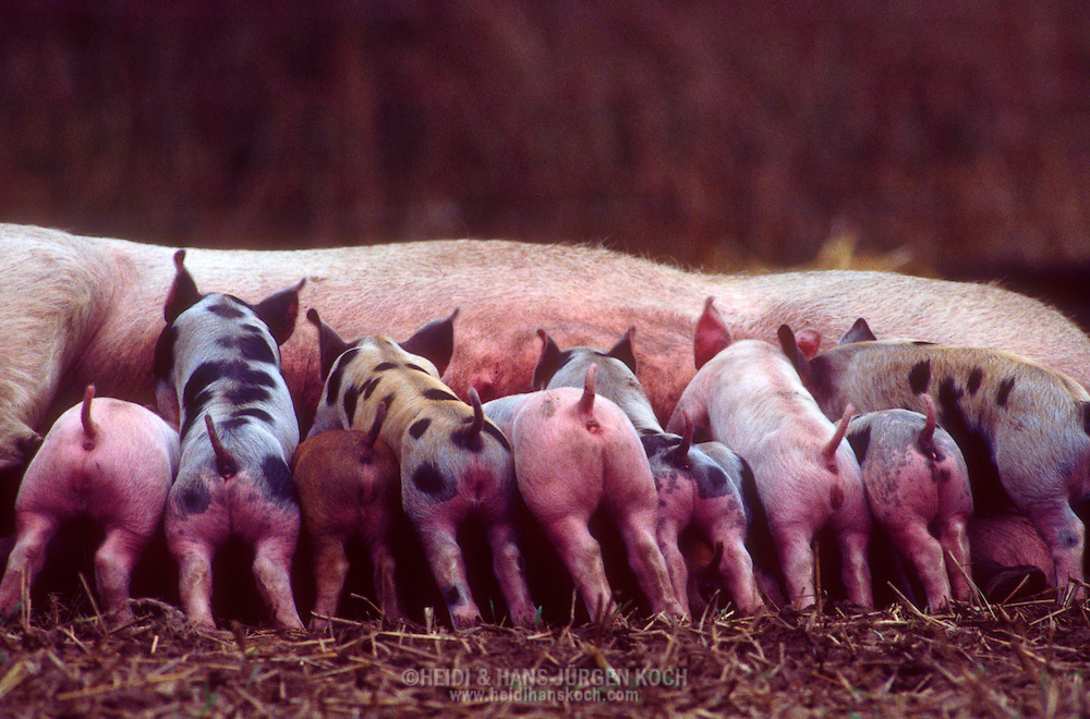 DEU, Deutschland: Hausschwein (Sus Scrofa f. domestica), Sau säugt ihre Ferkel, eine Mischung aus verschiedenen Züchtungen (Duroc, Pietrain und Country breed), Sorgwohld, Mecklenburg-Vorpommern | DEU, Germany: Domestic pig (Sus scrofa f. domestica), sow nursing it's piglets, a mix of different breeds (Duroc, Piètrain and Country breed), Sorgwohld, Mecklenburg-Vorpommern |