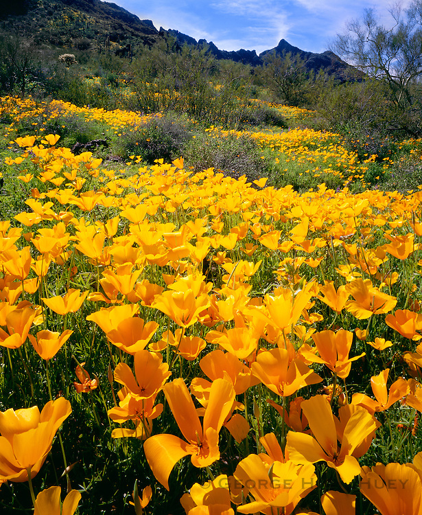 0173-1002 ~ Copyright: George H. H. Huey ~ Mexican gold poppies. Sonoran Desert. Picacho Peak State Park, Arizona.