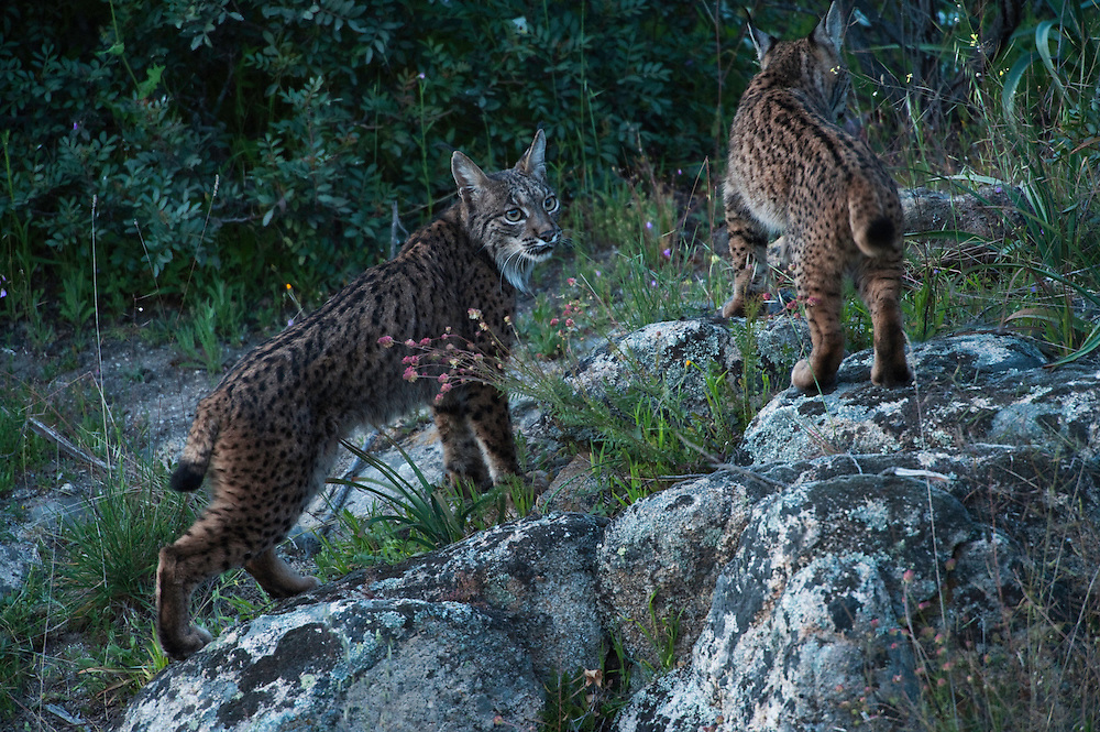Iberian Lynx (Lynx pardinus) female & one year old female offspring. Although solitary they sometimes move around with others in their family group..Sierra de Andújar Natural Park, Mediterranean woodland of Sierra Morena, north east Jaén Province, Andalusia. SPAIN.RANGE: Iberian Peninsula of Spain & Portugal..CITES 1, CRITICAL - DANGER OF EXTINCTION.Fewer than 200 animals in the wild. There is a reduced genetic variability due to their small population. They have suffered due to hunting, habitat loss and road accidents, but the most critical threat today is the reduced numbers of wild Rabbits (Oryctolagus cuniculus) within the lynx's range. The rabbits are the principal food source of the lynx and they are suffering from deseases such as Myxomatosis & Rabbit haemoragic virus. The lynx is also suffering from deseases such as feline leukaemia.A medium sized cat weighing 12-15kgs, Body length 90cm, Shoulder height 45-50cm. They have a mottled fur pattern, (3 varieties of fur pattern found between the different populations and distinguishing them geographically)  short tail, ear tufts and are bearded. They are territorial cats although female cubs have been found to share their mother's territory. Mating occurs in Dec/Jan and cubs born around April. They live up to 13 years...Mission: Iberian Lynx, May 2009