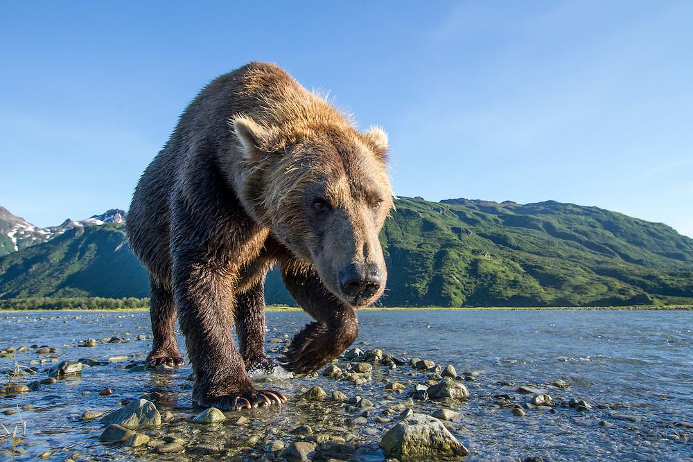 USA, Alaska, Katmai National Park, Coastal Brown Bear (Ursus arctos) walking along salmon spawning stream along Kukak Bay in late summer