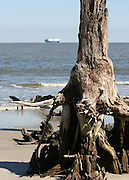 Petrified tree on Driftwood Beach with cargo ship on horizon