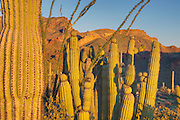 Organ Pipe Cactus National Monument Arizona
