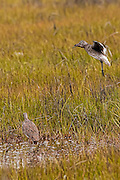 Willet flying in to another willet