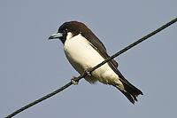 Fiji Wood-swallow photo Fiji