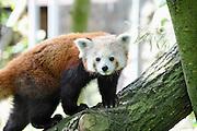 Duitsland, Kleef, Kleve, 14-6-2012De kleine panda of rode panda,Ailurus fulgens, is een bedreigde diersoort die in Azie leeft. Het dier op de foto leeft in de dierentuin, tiergarten, in Kleef, vlak over de grens bij Nijmegen. Er komen veel bezoekers uit Nederland.  Net zoals de reuzenpanda eet hij bamboe. De rode panda wordt ook wel katbeer genoemd. Deze benaming doet vermoeden dat de kleine panda een beer is, maar eigenlijk is dit niet zo, in tegenstelling tot de reuzenpanda. Hij behoort tot de familie katberen, Ailuridae, en is meer verwant aan wasberen dan aan beren. Het is tevens de enige nog levende soort.Foto: Flip Franssen/Hollandse Hoogte