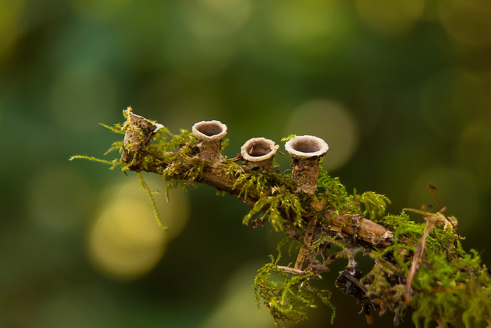 These fascinating bird's nest fungi found along a coastal trail in Oregon's Tillamook County on a winter hike are one of the many natural curiosities found in the Pacific Northwest. While it may not look like it, these are actually a mushrooms rather than lichens. These have already fruited and cast off their spores during a rainstorm, dropping their DNA on the forest floor for the next generation to spread and prosper.