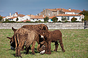 Donkeys and foals shedding their winter coats in pasture at St Martin de Re, Ile de Re, France
