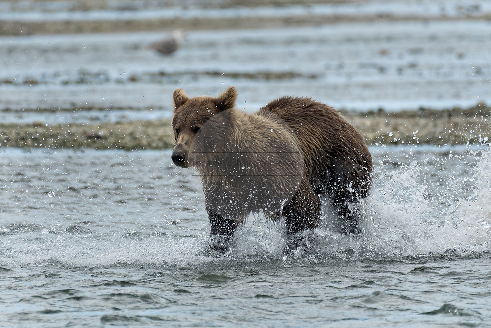 A brown bear sub-adult chases salmon in the lower lagoon at the McNeil River State Game Sanctuary on the Kenai Peninsula, Alaska. The remote site is accessed only with a special permit and is the world's largest seasonal population of brown bears in their natural environment.