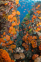 Swarms of schooling Anthias and orange Cup Corals...Shot in Indonesia