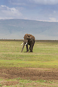 A large bull elephant walks across a short grass plain in east Africa
