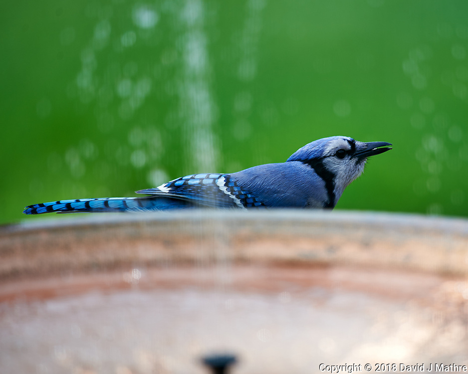 Blue Jay near the Copper Fountain. Image taken with a Nikon D4 camera and 600 mm f/4 VR lens.