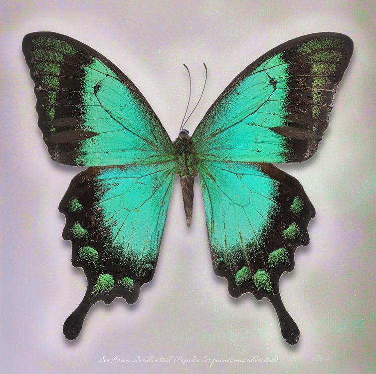 Sea Green Swallowtail (Papilio lorquinianus albertisi) / #LPD189b