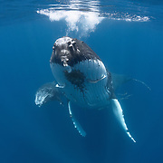 Female humpback whale (Megaptera novaeangliae) swimming with her small calf. From this angle, the tremendous size difference between parent and child is clear. Photographed in Vava'u, Tonga.