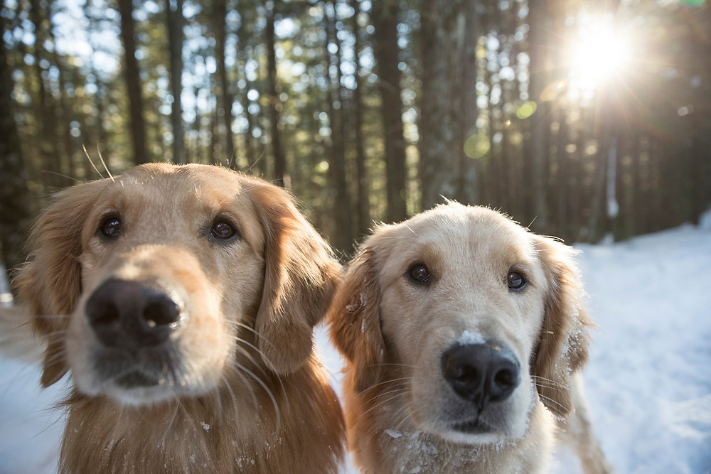 Golden retrievers looking at camera in the snow