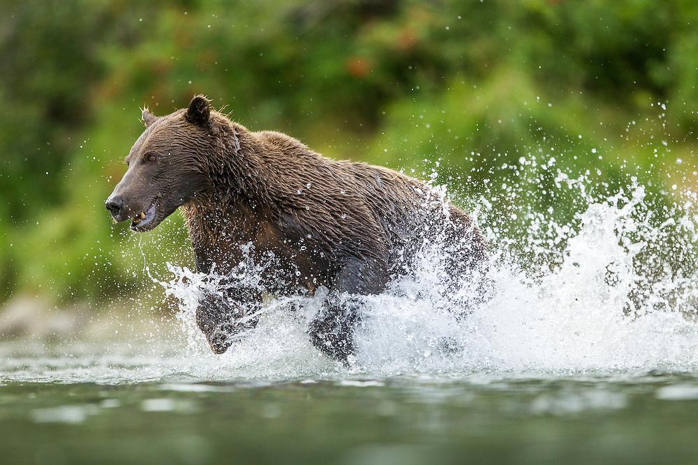 USA, Alaska, Katmai National Park, Coastal Brown Bear (Ursus arctos) fishing for spawning salmon in stream by Kuliak Bay