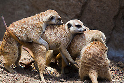 Meerkats (Suricata suricatta) play at San Diego Zoo, San Diego, California, United States of America