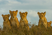 Lion cubs, part of a pride, Serengeti National Park