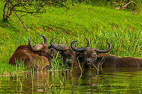 Cape buffalo sit in the water of the  Kazinga Channel, Queen Elizabeth National Park, Uganda. The water helps them cool off and avoid flies.
