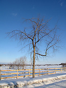 Feb 23, 2008 - Woodlawn, ON. The tree statnding alone in the farm land, winter.