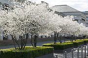 blühende Bäume vor Theater-Kolonaden, Wiesbaden, Hessen, Deutschland | white flowering trees, Theater-Kolonaden, Wiesbaden, Hesse, Germany
