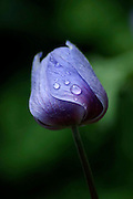 mauve Anemone coronaria growing in their natural habitat, Israel. Dew drops can be seen on the flower
