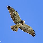 Hunting Harrier, Point Reyes National Seashore, California