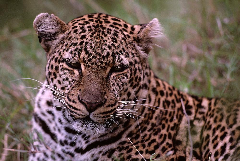 Kenya, Masai Mara Game Reserve, Leopard (Panthera pardus) sitting near banks of Telek River at dusk