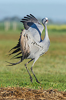 Blue Crane leaping high into the air as part of a pair bonding display dance, Overberg, Western Cape, South Africa