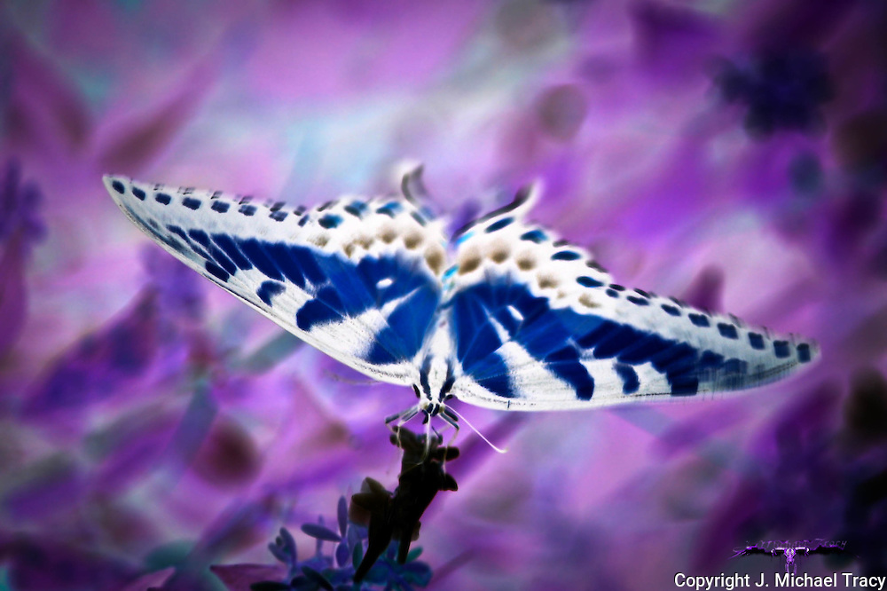 An artistic photograph of a Tiger Swallowtail butterfly on a wild flower. Color manipulated, inverted with certain effects to give it a surreal, x-rayed kind of look.