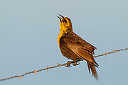 Stock photo of yellow headed blackbird captured in Colorado.  This bird has one of the most unique bird songs in North America.  These birds inhabit cattail marshes, croplands and ranchlands up to the  subalpine.