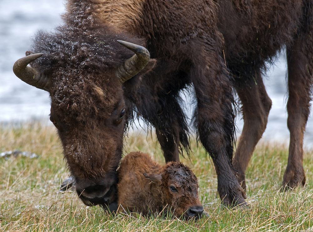 One bison calf is born per season, with male calves born slightly more frequently than females. These young calves are red in color when born and become entirely brown at four months. Bison calves are nursed for seven to eight months and are fully weaned by the end of their first year.