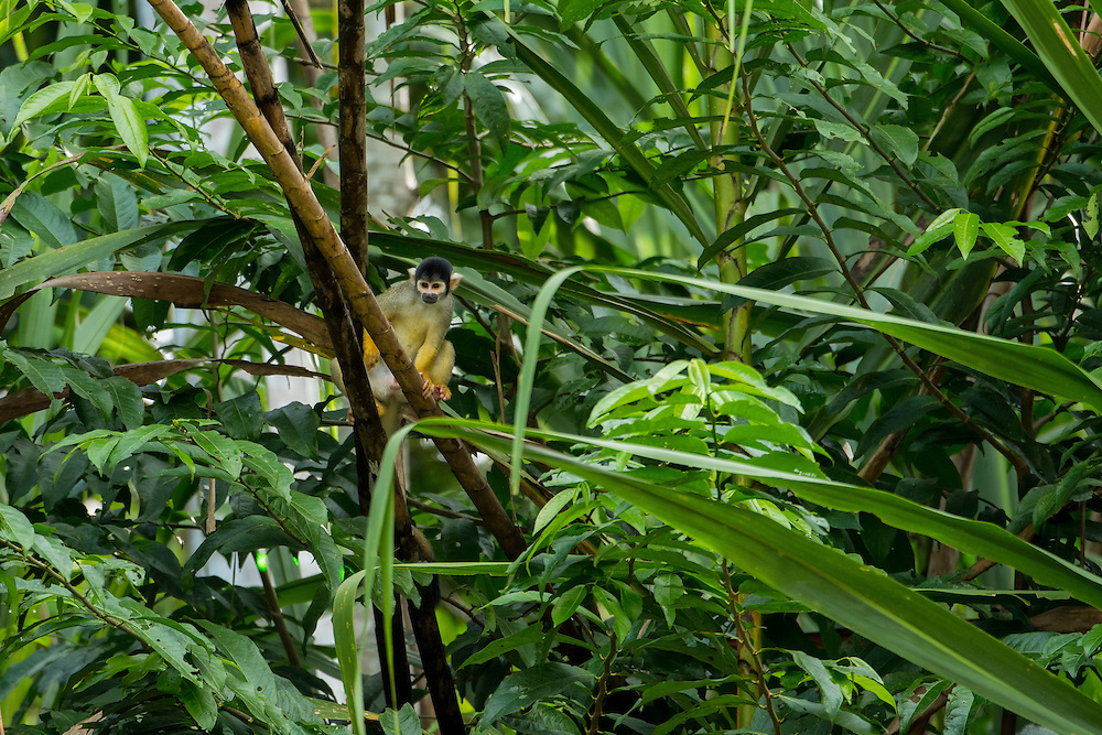 South America, Peru, Amazonia,South Manu National Park ,squirrel  monkey in the wild