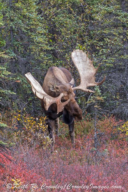 Alaskan bull moose displays his antlers as a challenge.