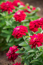 Zinnia Zahara 'Double Cherry'