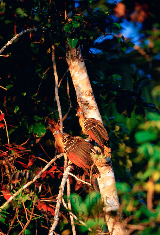 Hoatzin birds at Lake Sandova, Peruvian Rainforest, South America