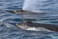 Humpback Whales in Dallmann Bay in Antarctica.