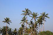Coconut palm trees against deep blue sky, Nilavelli, Trincomalee, Sri Lanka, Asia