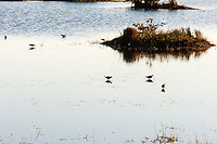 US, Florida, Merritt Island National Wildlife Refuge, Black Point Wildlife Drive. Willet.