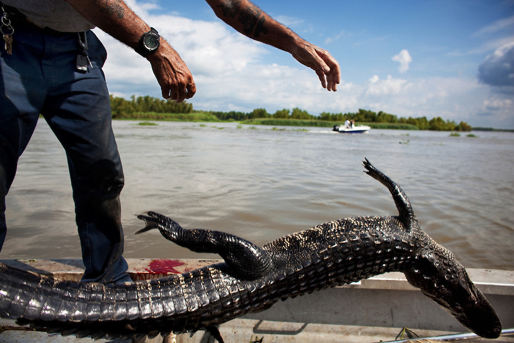 Rebel tosses a recently caught gator into the bottom of the boat while alligator hunting near Shell Island, Louisiana on Saturday, September 19, 2009.